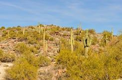 Saguaro cactus Arizona desert Stock Photos