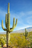Saguaro Cactus at Arizona Desert Royalty Free Stock Images