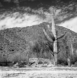 Saguaro Royalty Free Stock Image