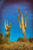 Saguaro Cactus Arizona. Two Saguaro Cactus in Phoenix, Arizona. Editing with filters for a unique look stock photo