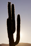 Saguaro Cactus Backlit Royalty Free Stock Photography