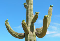 Saguaro cactus in bloom Royalty Free Stock Photography