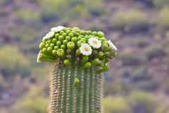 Saguaro Cactus Bloom. A close up of a saguaro cactus blooming in the arizona sonoran desert landscape Royalty Free Stock Image