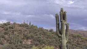 Saguaro Cactus in Bloom Zoom In stock footage