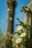 Saguaro Cactus Blossoms with White Flower and Fruit. Saguaro Cactus Fruit with Flowers, Blue Sky in the Sonoran Desert Royalty Free Stock Photo