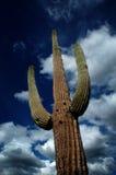 Saguaro Cactus Cacti Arizona Desert Stock Photos