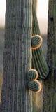 Saguaro Cactus, Carnegiea gigantea Royalty Free Stock Images