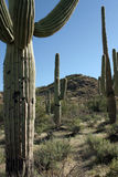 Saguaro Cactus, Carnegiea gigantea Royalty Free Stock Photos