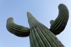 Saguaro Cactus Carnegiea gigantea blue desert sky Stock Photo
