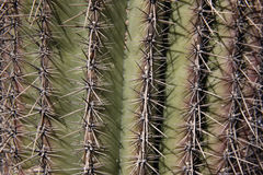 Saguaro cactus, Carnegiea gigantea Royalty Free Stock Image