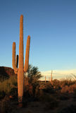 Saguaro Cactus Royalty Free Stock Photos