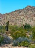 Saguaro Cactus Royalty Free Stock Photography