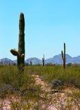 Saguaro Cactus Stock Image