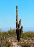Saguaro Cactus Stock Photography