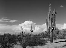 Saguaro Cactus cereus giganteus Stock Photos