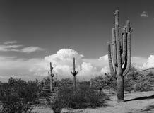 Saguaro Cactus cereus giganteus Stock Photos