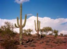 Saguaro Cactus cereus giganteus Royalty Free Stock Images