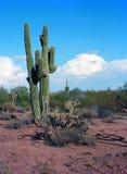 Saguaro Cactus cereus giganteus Royalty Free Stock Photo