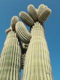 Saguaro Cactus. Classic of the Southwest USA, the towering Saguaro Cactus Royalty Free Stock Photos