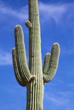 Saguaro Cactus Close Up Stock Images