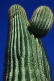 Saguaro Cactus. close-up Stock Photography