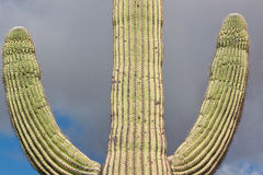 Saguaro Cactus Close Up Royalty Free Stock Photo