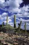 Saguaro cactus country in Arizona Royalty Free Stock Photos