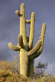 Saguaro Cactus and a dark stormy sky. In the Sonoran Desert near Phoenix Arizona Stock Images