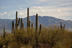 Saguaro Cactus Desert Stock Photography