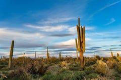 Saguaro cactus and desert landscape. Saguaro cactus in the Arizona desert landscape Stock Images