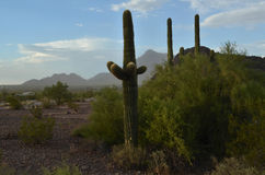 Saguaro cactus in desert landscape day. Large saguaro cactus stand tall against mountain range backdrop in Sonoran desert landscape Stock Photography