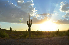 Saguaro cactus in desert landscape sky. Large saguaro cactus stand tall in Sonoran desert landscape at dusk near sunset with god-rays of light in multi-color Royalty Free Stock Image