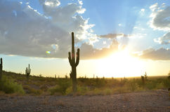 Saguaro cactus in desert landscape sky. Large saguaro cactus stand tall in Sonoran desert landscape at dusk near sunset with god-rays of light in multi-color Stock Image