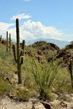 Saguaro cactus in the desert Stock Photo