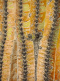 Saguaro Cactus Detailed Macro Royalty Free Stock Images