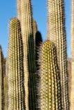Saguaro Cactus Details Royalty Free Stock Images
