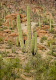 Saguaro cactus with a disease Royalty Free Stock Images