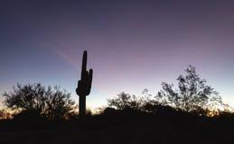 Saguaro cactus in evening desert landscape Stock Photo