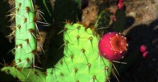 Saguaro cactus flower. Red flower on a saguaro cactus (Carnegiea gigantea Royalty Free Stock Photos