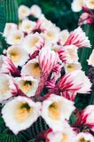 Bright Saguaro with Cactus Flower. Variety Saguaro Bright  White Cactus Flowers and blossom cose up royalty free stock images