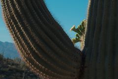 426 Saguaro Cactus With Flowering Blooms of White Flowers. The saguaro cactus Carnegiea gigantea is one of the defining plants of the Sonoran Desert. These royalty free stock photography