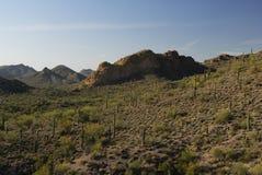 Saguaro cactus forest in Southern Arizona Royalty Free Stock Photos