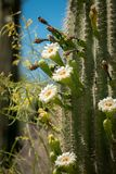 Saguaro Cactus Blossoms with White Flower and Fruit. Saguaro Cactus Fruit with Flowers, Blue Sky in the Sonoran Desert Stock Photos
