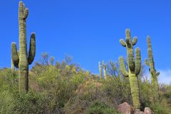 Saguaro cactus grow on a hill under a blue sky. Tall saguaro cactus plants grow on a desert hillside in Arizona stock photo
