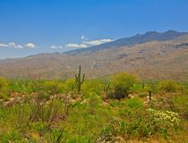 Saguaro Cactus growing in desert. Saguaro Cactus located in the Sonoran Desert in Arizona along with smaller plants in foreground stock photos