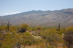 Saguaro Cactus growing in desert. Saguaro Cactus located in the Sonoran Desert in Arizona along with smaller plants in foreground royalty free stock photography