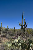 Saguaro Cactus Growing Tall Against the Blue Sky Stock Photo