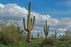 Saguaro Cactus Horizontal Stock Images