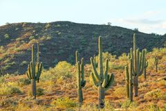Saguaro Cactus and Mountain Royalty Free Stock Images