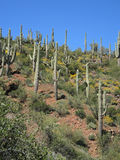 Saguaro Cactus Multitude Royalty Free Stock Image